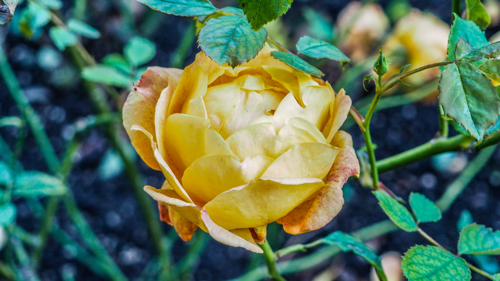 Yellow rose in Alnwick Gardens, Northumberland in the UK